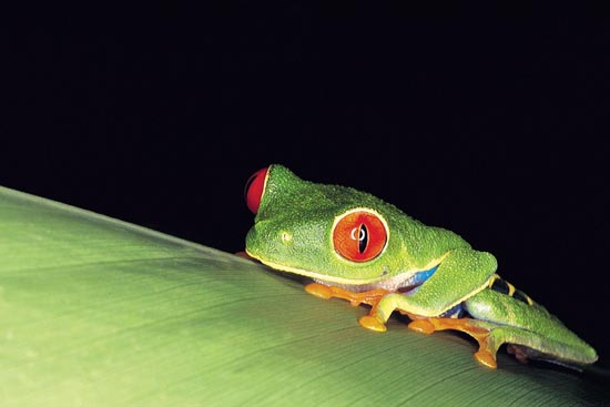 (Image) voyage costa rica grenouille