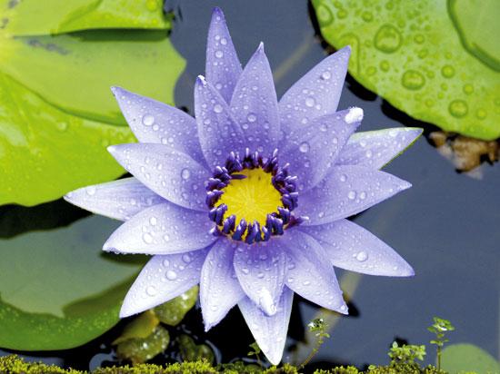 (Image) NT antilles martinique fleur  pixmac