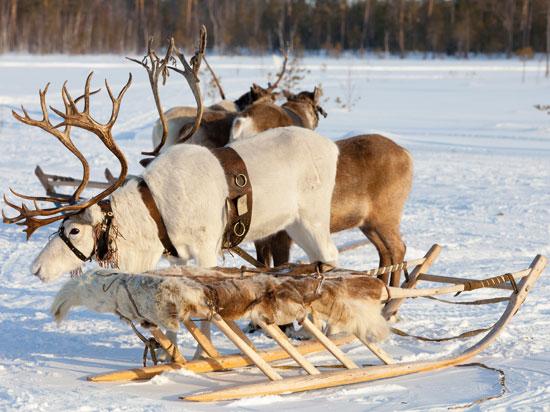 NT finlande laponie rennes  istock