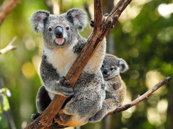 australie koala fotolia