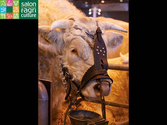 paris salon agriculture vache